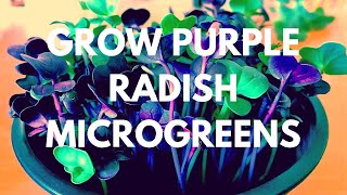 How to Grow Purple Sango Radish Microgreens Pots at Home