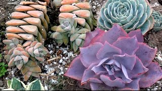Video Amazing succulent plants - varied colors & shapes download MP3, 3GP, MP4, WEBM, AVI, FLV Juni 2018