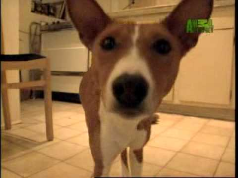 Breed All About It - Basenji