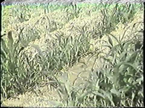 蘇丹草台畜草一號之栽培及利用