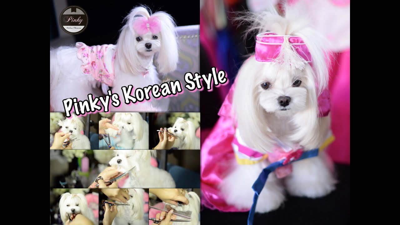 Korean Grooming Full Maltese Korean Style Face Asian Style Groom