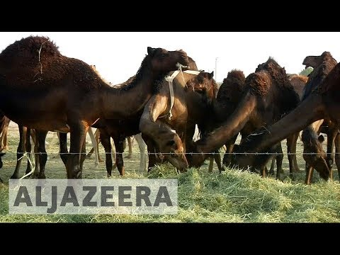 Gulf crisis: Camels become casualties of Qatar blockade