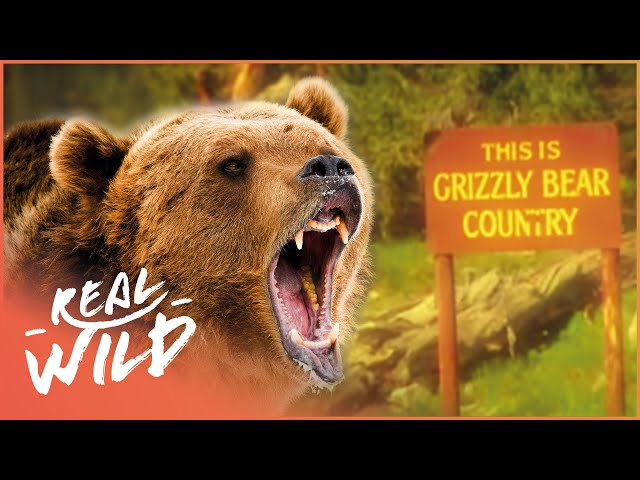 Savaged By Grizzly Brown Bears! Human Prey | Real Wild Documentary