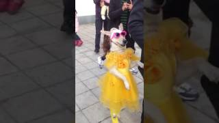 Dog dancing on Goore gore mukhdre pe Kala Kala chashma
