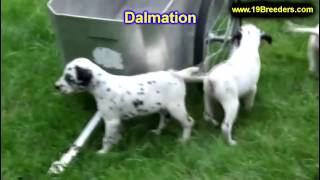 Dalmation, Puppies, For, Sale, In, South Bend, Indiana, County, In, Allen, Hamilton, St  Joseph, Van