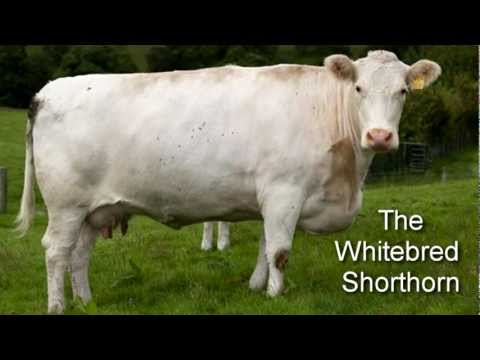 Cattle Breeds In The UK : COWS