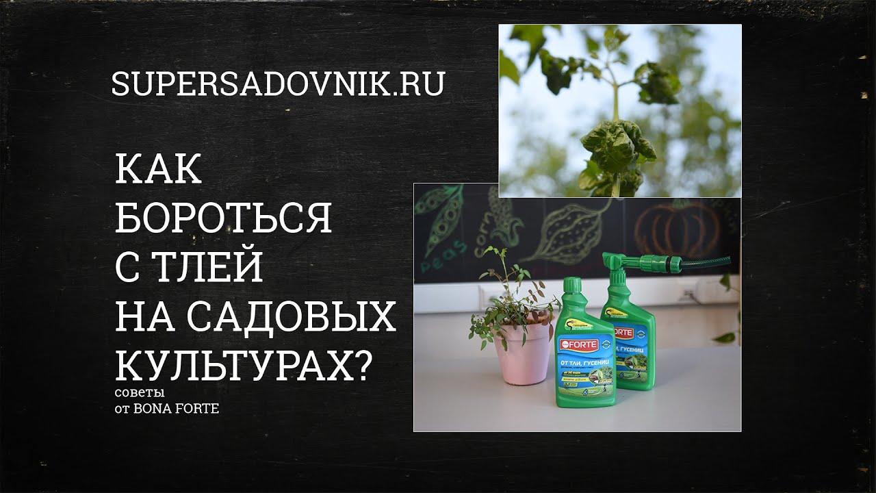 Тля - самый распространенный вредитель сада. Как с ним легко и быстро справиться?