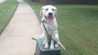 Daisy   6 Month Lab Puppy Training Tulsa