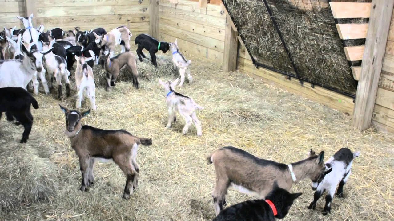 Baby Goats Playing - YouTube |Baby Goats Playing Youtube