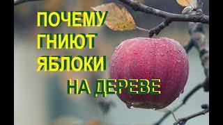 Почему гниют яблоки на дереве – в чем причина, и что нужно делать?