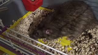 Кормим крыс мясом\Декоративные крысы-коротко о питании!