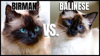 Birman Cat VS. Balinese Cat