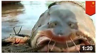 Le poisson-chat géant: 3 mètres de long, 272 kg et peut manger votre tête en une bouchée.