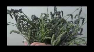 Making Lavender Essential Oil