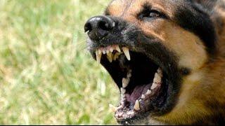 10 самых лучших охранных и сторожевых собак!