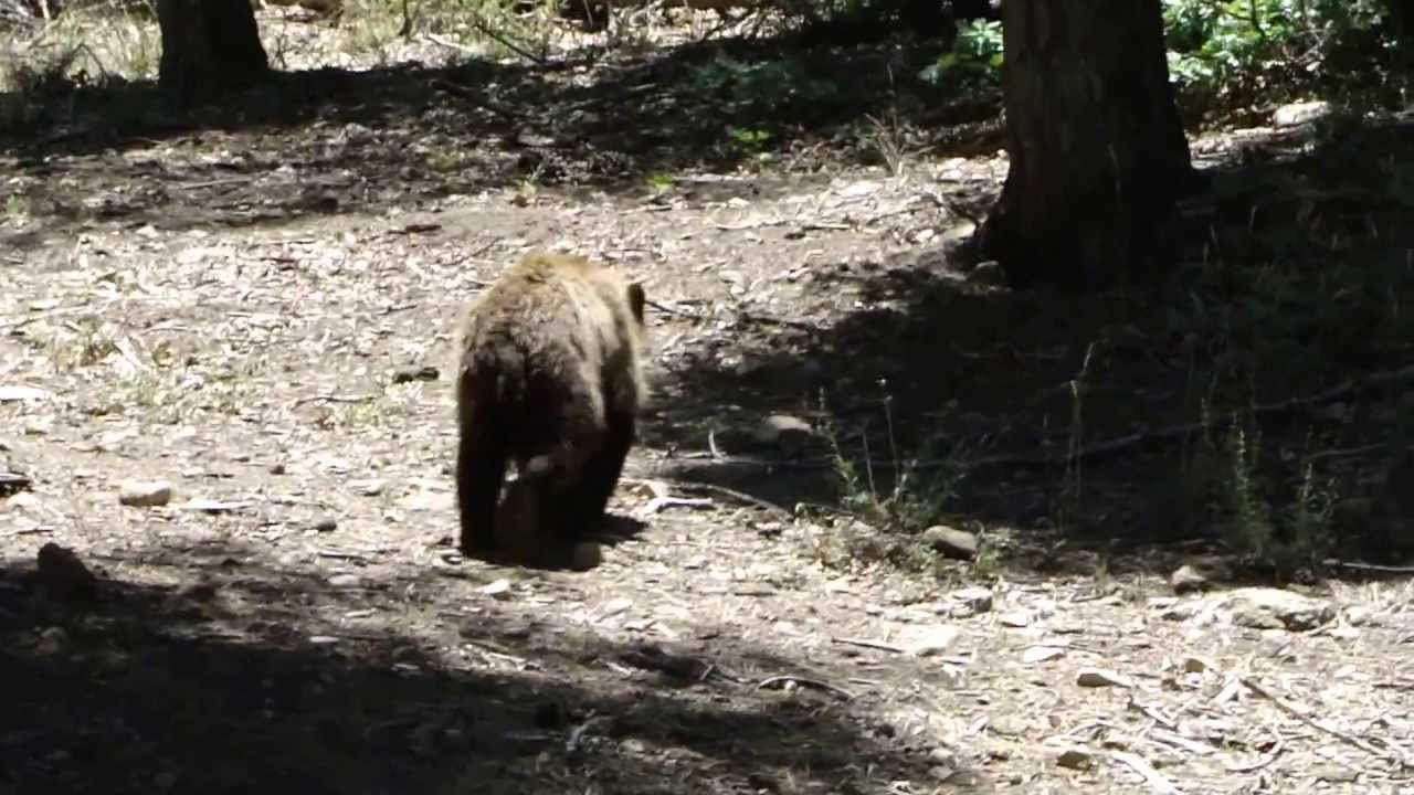 Black Bear In My Backyard Big Bear Lake Youtube