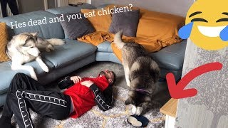 Huskies Funny Reaction to Fake Fainting! [PRANK] [WITH FUNNY DIALOGUE]