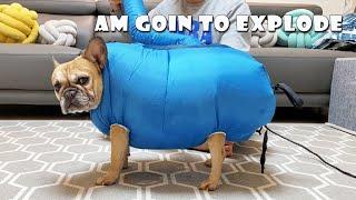 I Turned My French Bulldog Into A Balloon   INSANE DOG DRYER