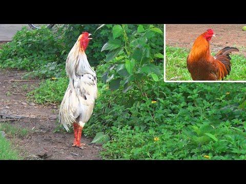 Gà Linh Kê, Gà Cúp Tiếng Gáy Rất Hay/ Quarter Chicken, Cup Cock Crow Very Good/ Tung Vlog   Foci