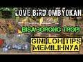 Cara Memilih Lovebird Prospek Juara Di Ombyokan Tips Memilih Lovebird Ciri Lovebird Prospek  Mp3 - Mp4 Download
