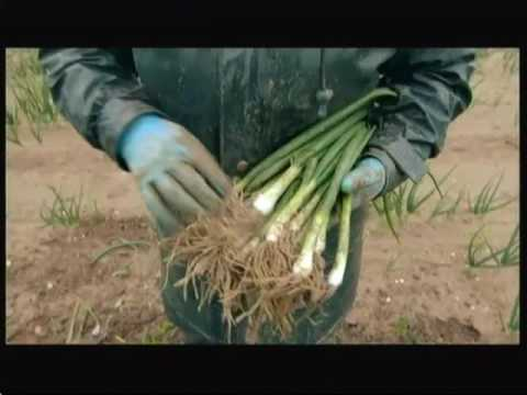 Vegetable farmers & the Living Wage (UK) - BBC - 22nd May 2016