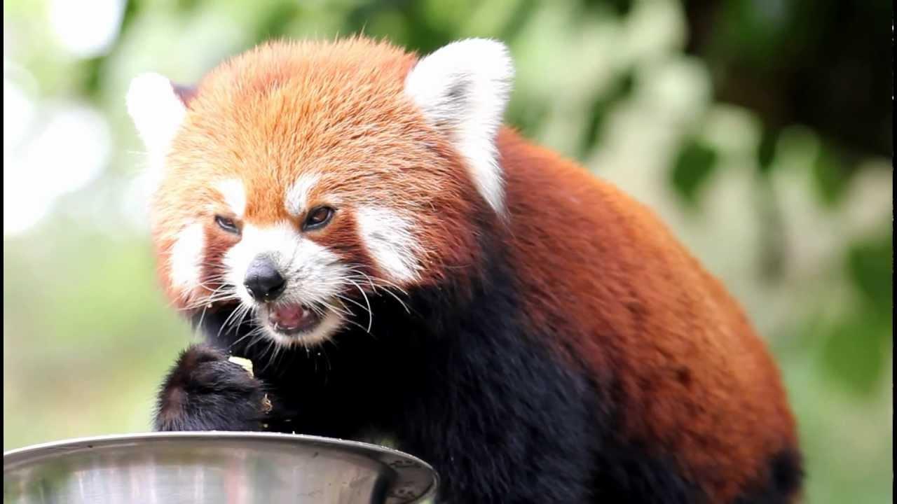 panda roux (firefox) pessac - YouTube