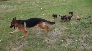 Big Male German Shepherd Plays with his Puppies