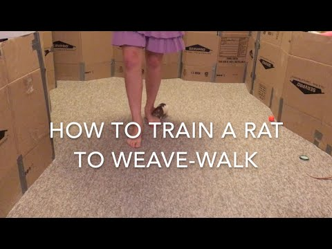 How to Train a Rat to Weave-Walk Part 1