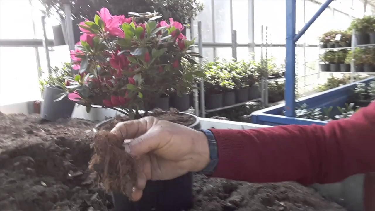 Orchidee Meravigliose Trucchi E Segreti qual è il terreno adatto per far crescere bene le azalee?