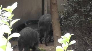 On Location: The Chacoan Peccary