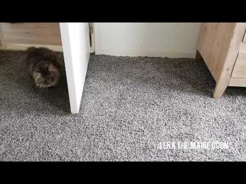 Maine coon cats | b*tch fight!