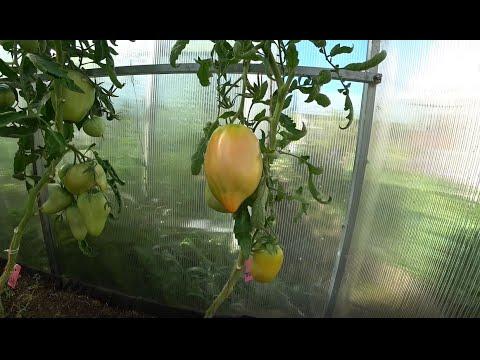 Обзор томатов. Минусинские сорта   минусинский   помидоры   томатов   розовый   дегуста   томаты   стакан   лучшие   сорта   какие