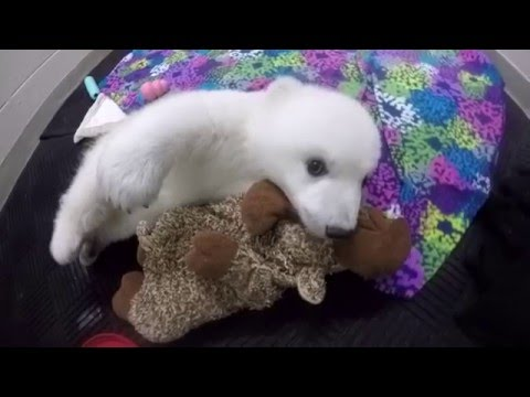 Polar Bear Cub Update – Week 12