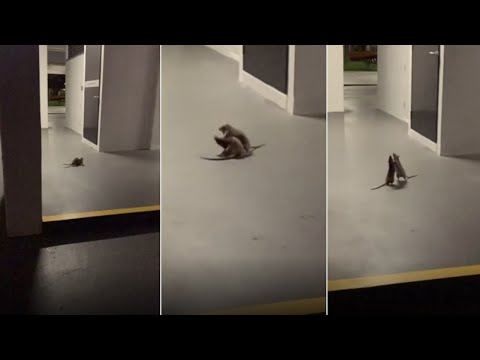 Cat watches in disbelief as two rats fight each other