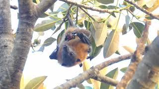 悉尼 灰頭狐蝠 (1)