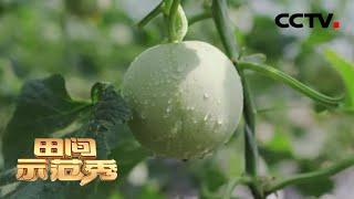 《田间示范秀》 20200401 甜瓜棚里妙招多|CCTV农业