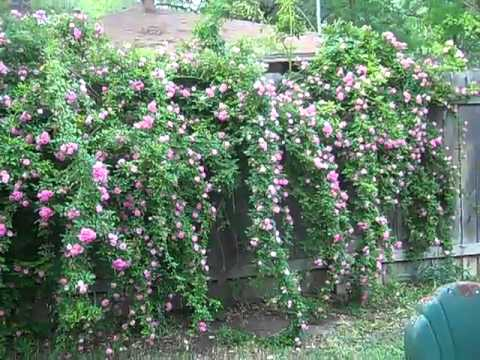 Peggy Martin Roses On Our Back Yard Fence Youtube