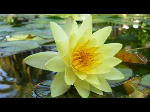 """Цветы на воде... ❀¸¸.•*´❀ """"Качаются кувшинки"""""""
