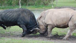 Версус. Как носорог наказал огромного буйвола и другие эпичные битвы животных!