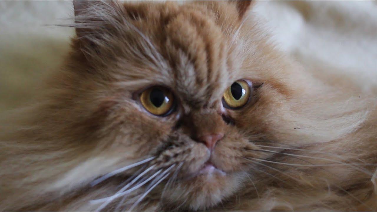 Beautiful Golden Persian Cat