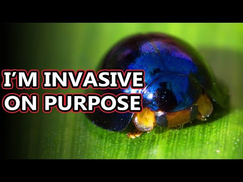 Steelblue Ladybird facts: shiny ladybugs, or lady beetles, whatever you say | Animal Fact Files