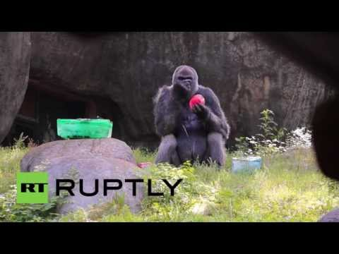 USA: World's oldest Gorilla in captivity turns 53
