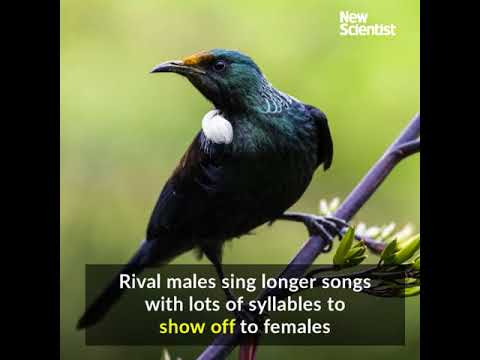 Tui birds get riled by good singers