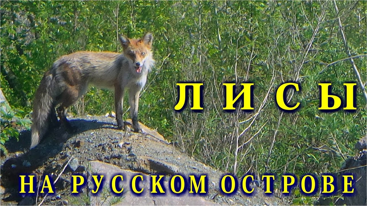 Лисы на Русском острове. - YouTube