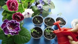 видео Люпин. Советы по выращиванию