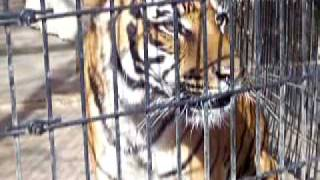 Tiger roars at little girl