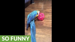Parrot shows playful side with favorite toy