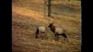 Рев тічка (Red deer roar) . Уривки з фільму Д. Бехтерева