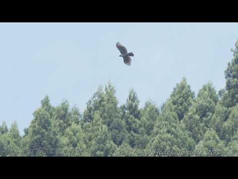 クマタカ幼鳥 Mountain Hawk Eagle 関東のダム湖 8月下旬 野鳥FHD 空屋根FILMS#1093
