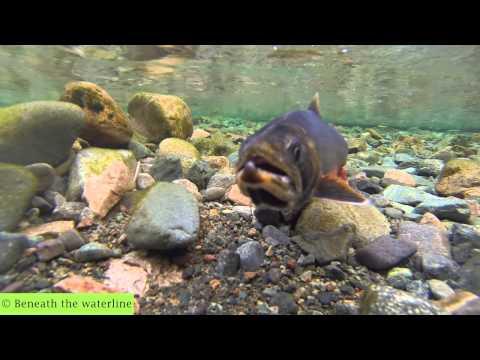 British freshwater fish 40 species underwater youtube for Fish representative species